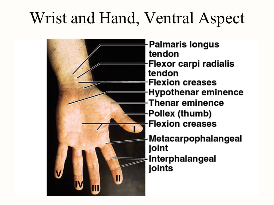 Wrist and Hand, Ventral Aspect