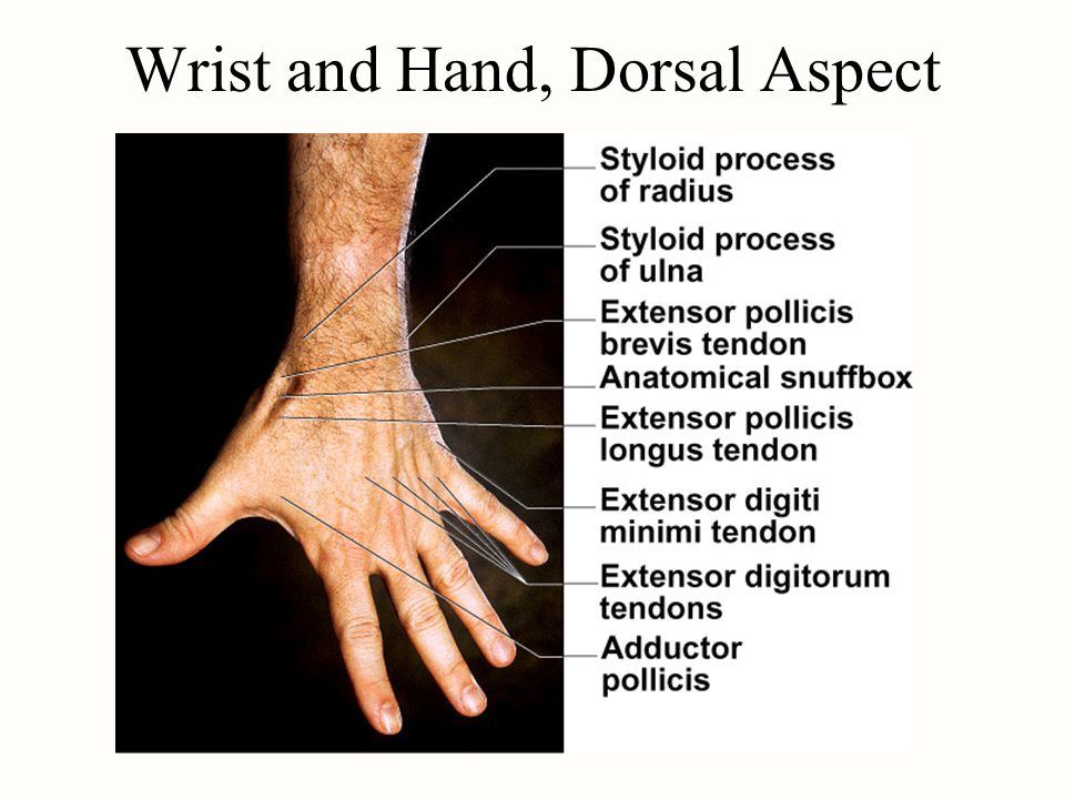 Wrist and Hand, Dorsal Aspect