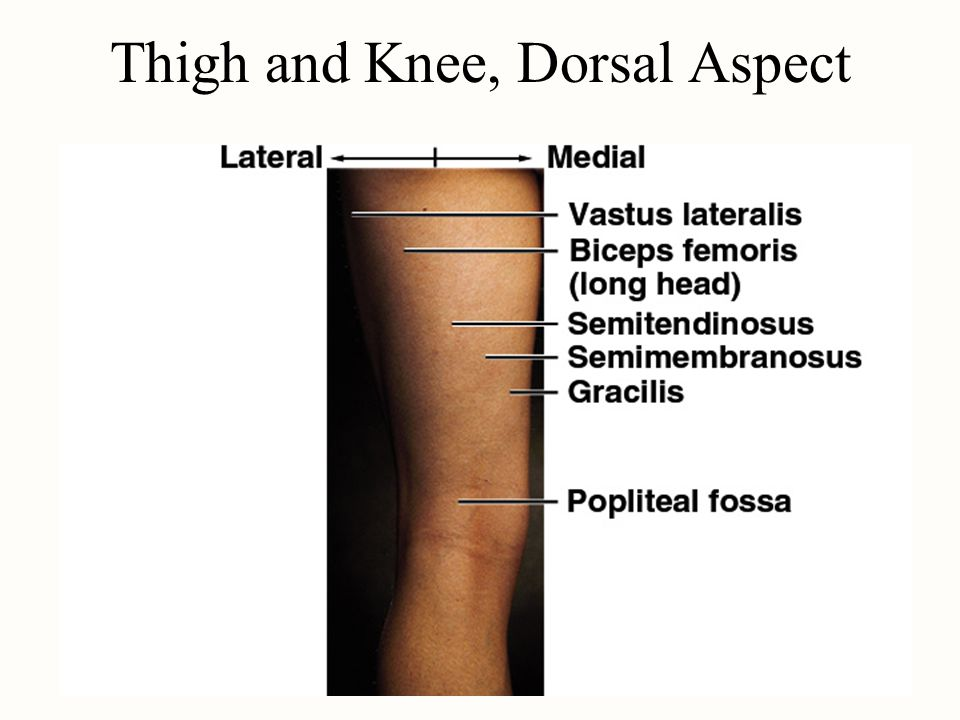 Thigh and Knee, Dorsal Aspect