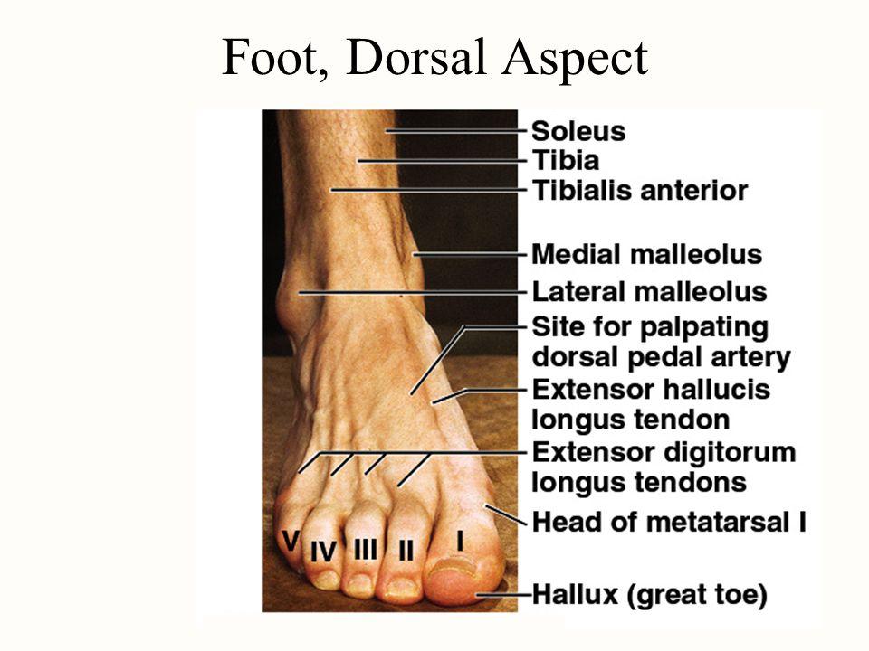 Foot, Dorsal Aspect
