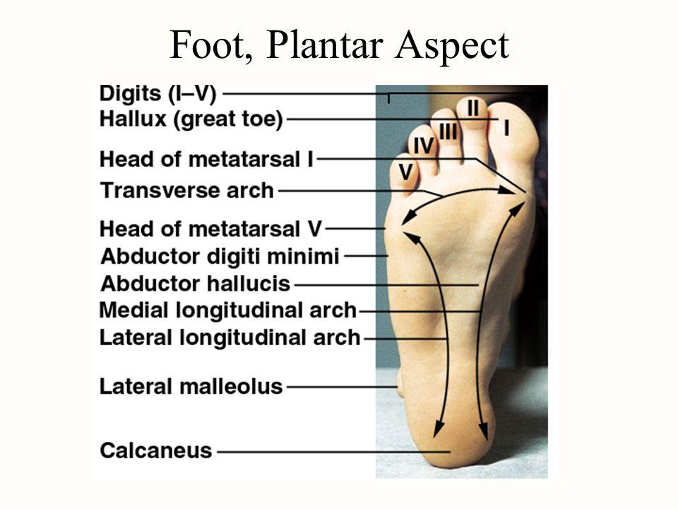 Foot, Plantar Aspect