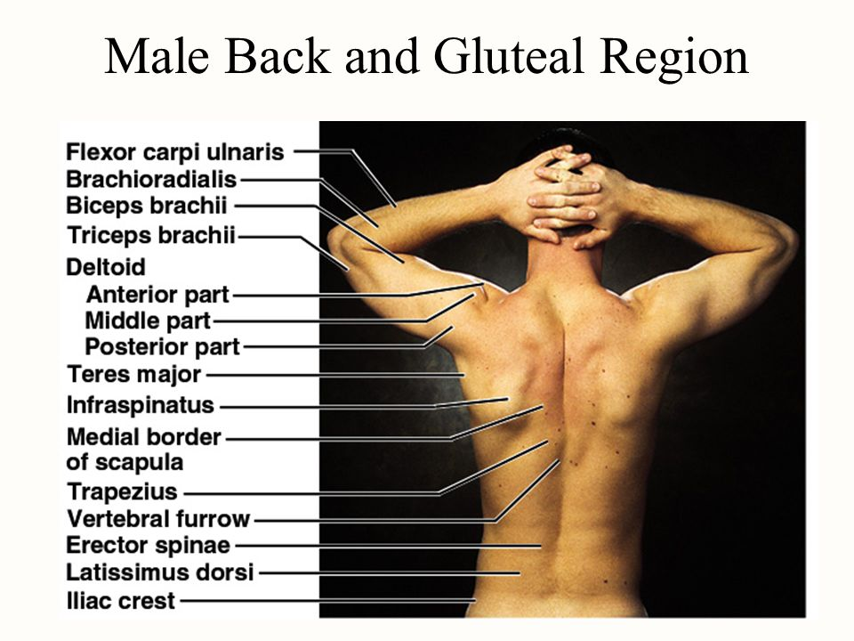 Male Back and Gluteal Region