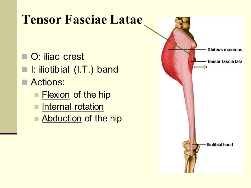 Tensor Fasciae Latae O: iliac crest I: iliotibial (I.T.) band Actions: