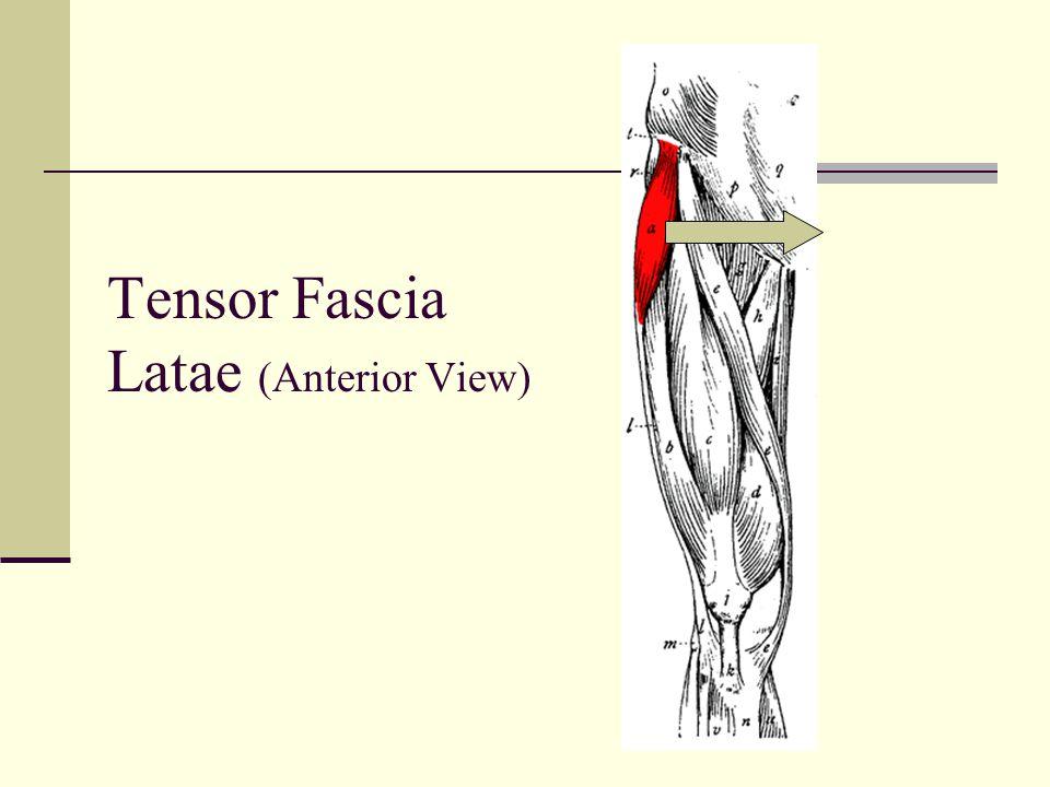 Tensor Fascia Latae (Anterior View)