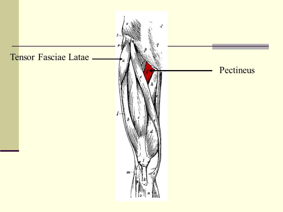 Tensor Fasciae Latae Pectineus