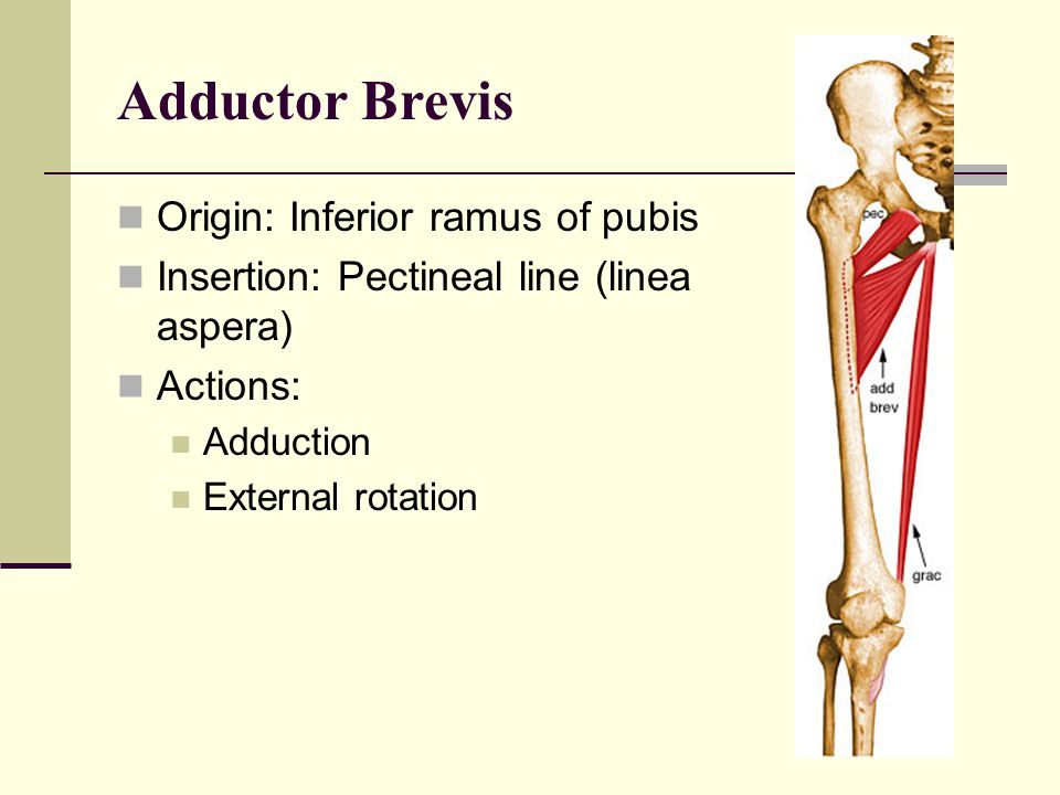 Adductor Brevis Origin: Inferior ramus of pubis