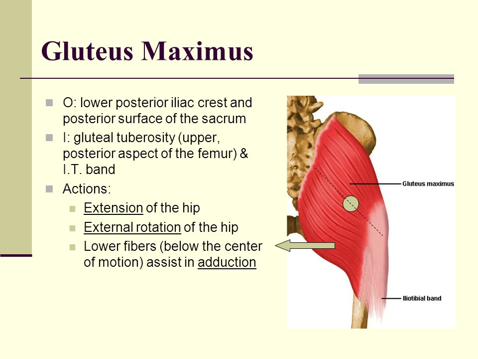 Gluteus Maximus O: lower posterior iliac crest and posterior surface of the sacrum.