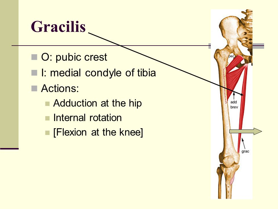 Gracilis O: pubic crest I: medial condyle of tibia Actions: