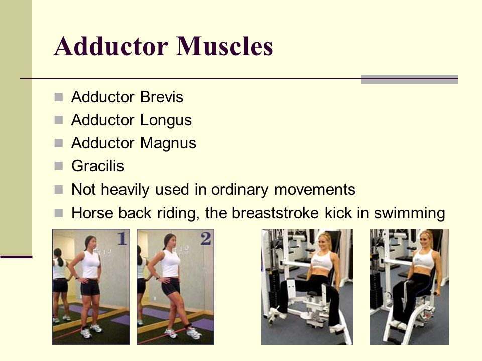 Adductor Muscles Adductor Brevis Adductor Longus Adductor Magnus
