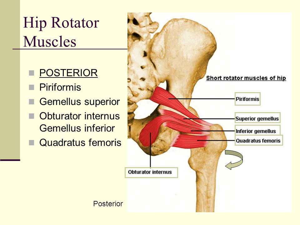 Hip Rotator Muscles POSTERIOR Piriformis Gemellus superior
