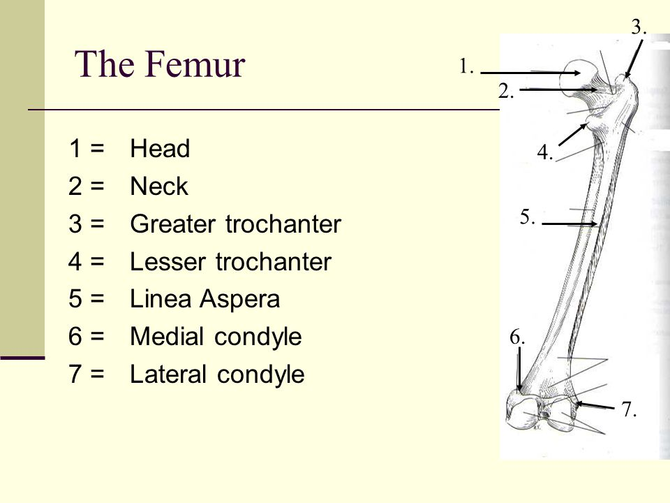 The Femur 1 = 2 = 3 = 4 = 5 = 6 = 7 = Head Neck Greater trochanter