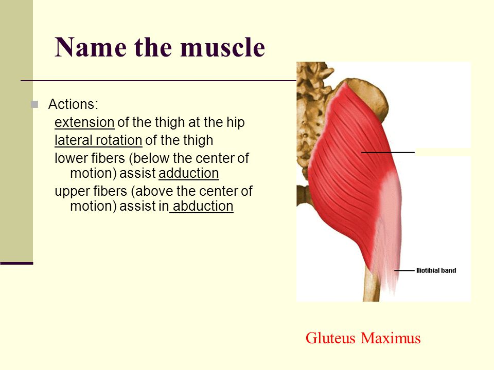 Name the muscle Gluteus Maximus Actions: