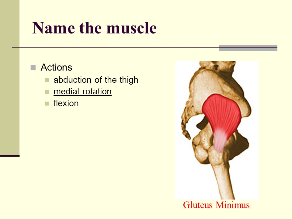 Name the muscle Actions Gluteus Minimus abduction of the thigh