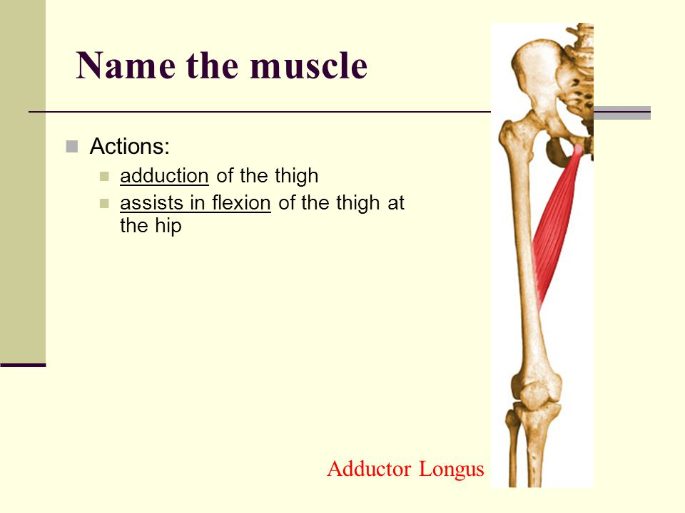 Name the muscle Actions: Adductor Longus adduction of the thigh