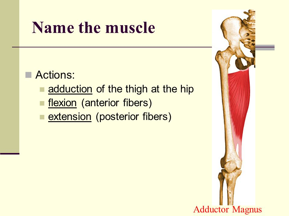 Name the muscle Actions: adduction of the thigh at the hip