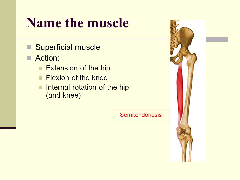 Name the muscle Superficial muscle Action: Extension of the hip