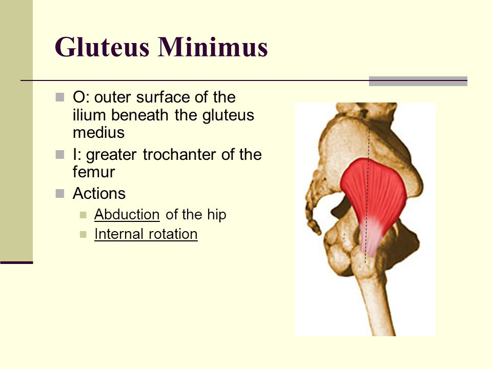 Gluteus Minimus O: outer surface of the ilium beneath the gluteus medius. I: greater trochanter of the femur.