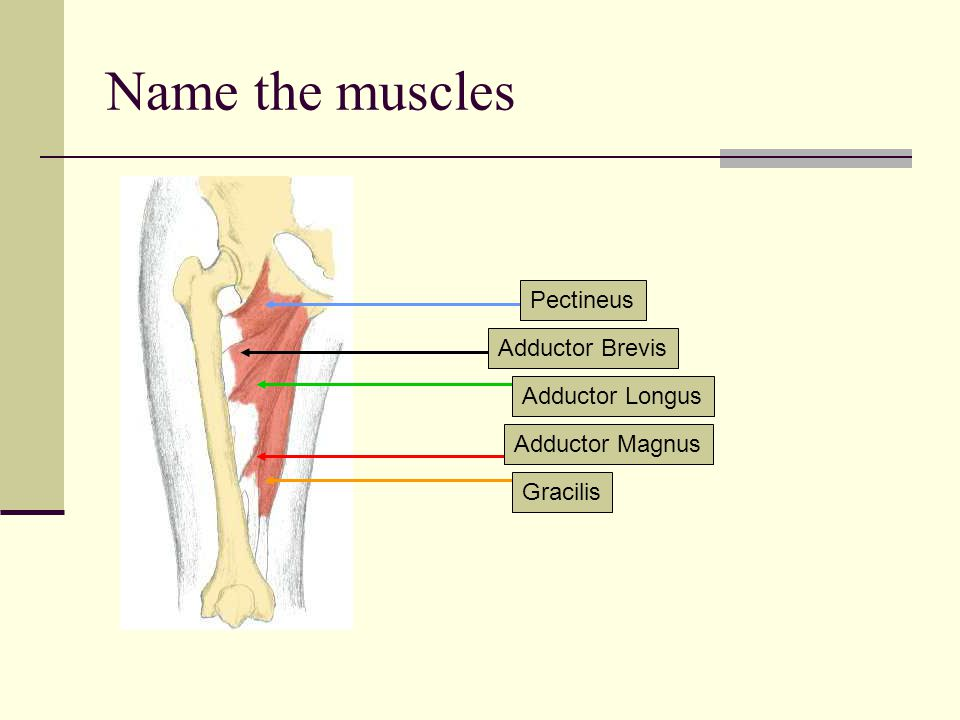 Name the muscles Pectineus Adductor Brevis Adductor Longus