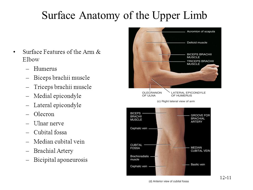 Surface Anatomy of the Upper Limb