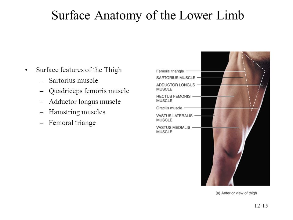 Surface Anatomy of the Lower Limb