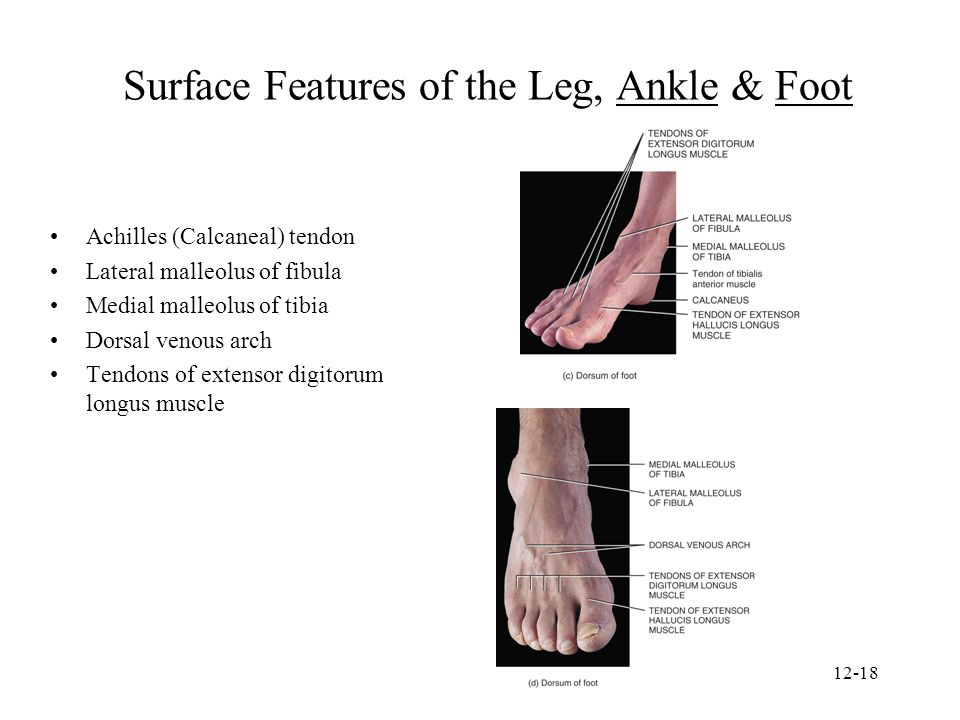 Surface Features of the Leg, Ankle & Foot