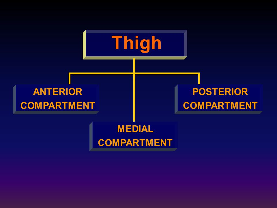 Thigh ANTERIOR COMPARTMENT POSTERIOR COMPARTMENT MEDIAL COMPARTMENT