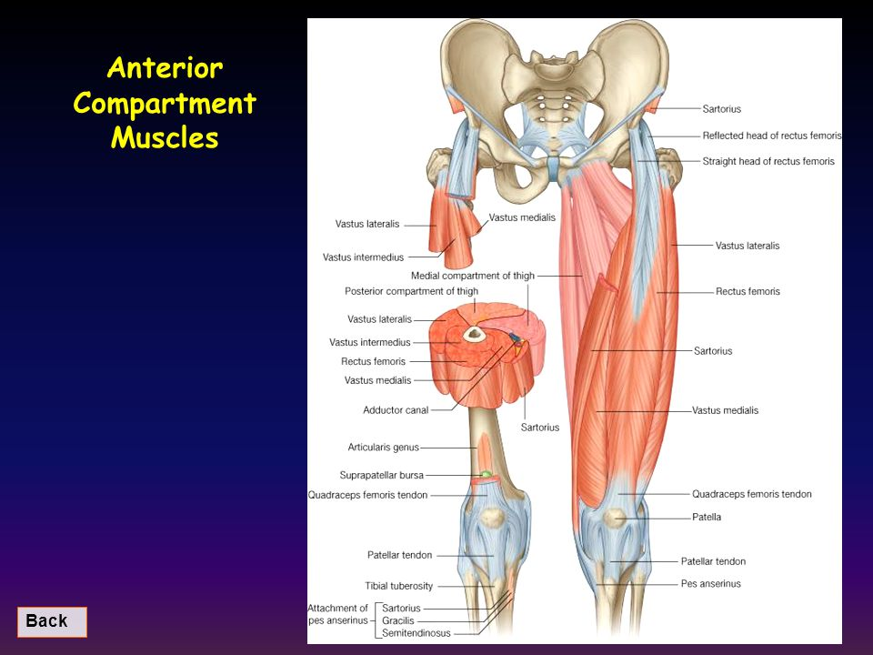 Anterior Compartment Muscles