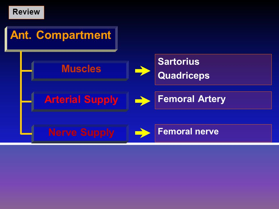 Ant. Compartment Muscles Arterial Supply Nerve Supply Sartorius