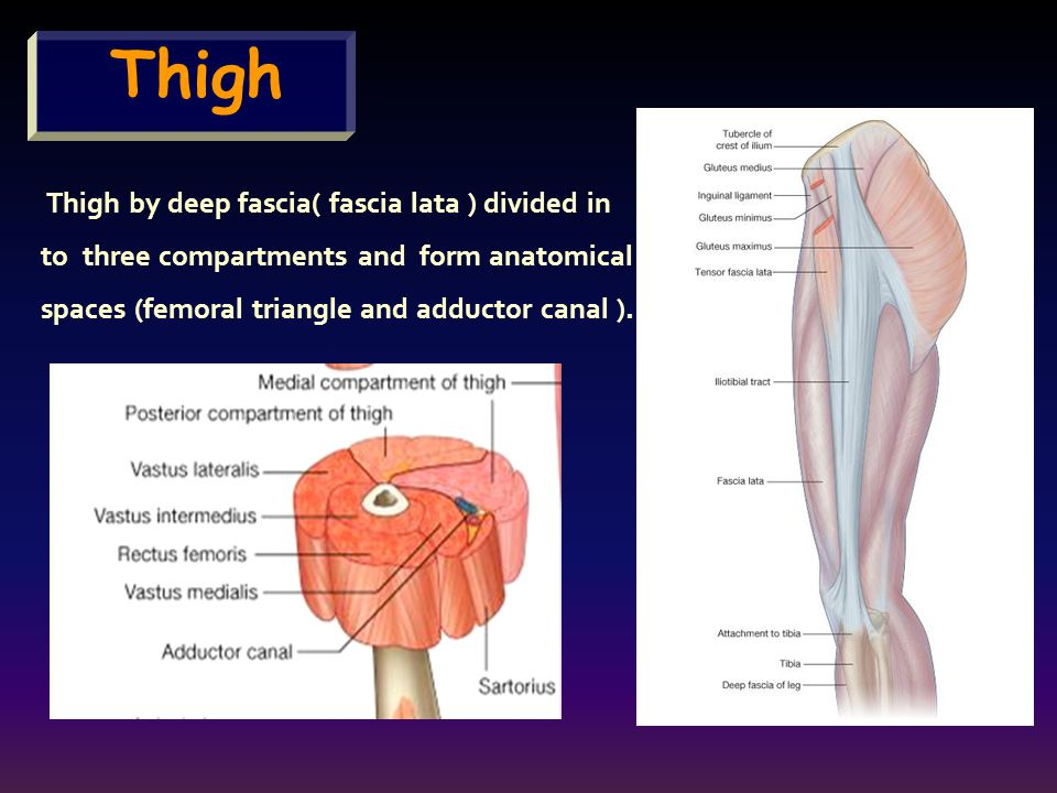 Thigh to three compartments and form anatomical