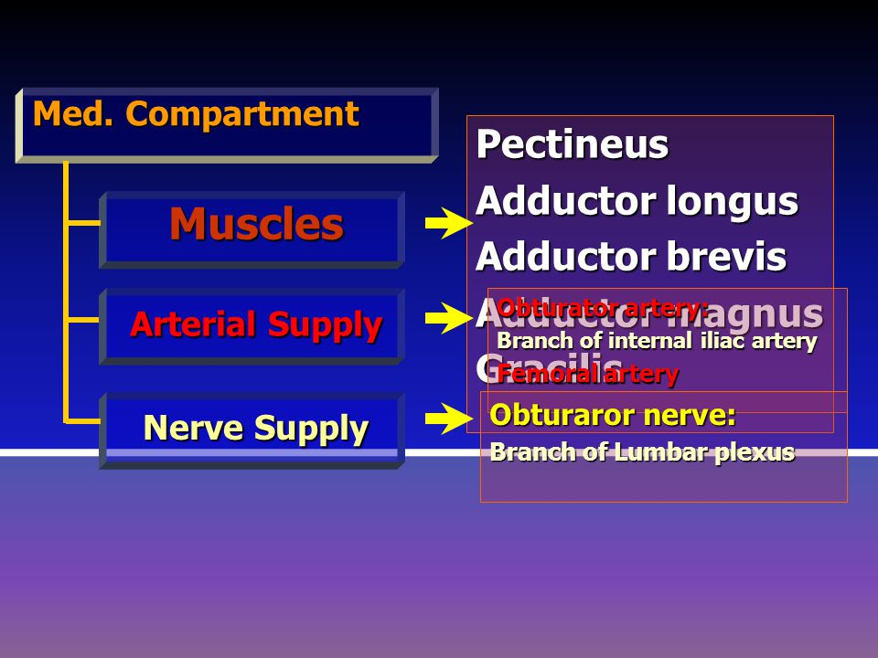 Muscles Pectineus Adductor longus Adductor brevis Adductor magnus