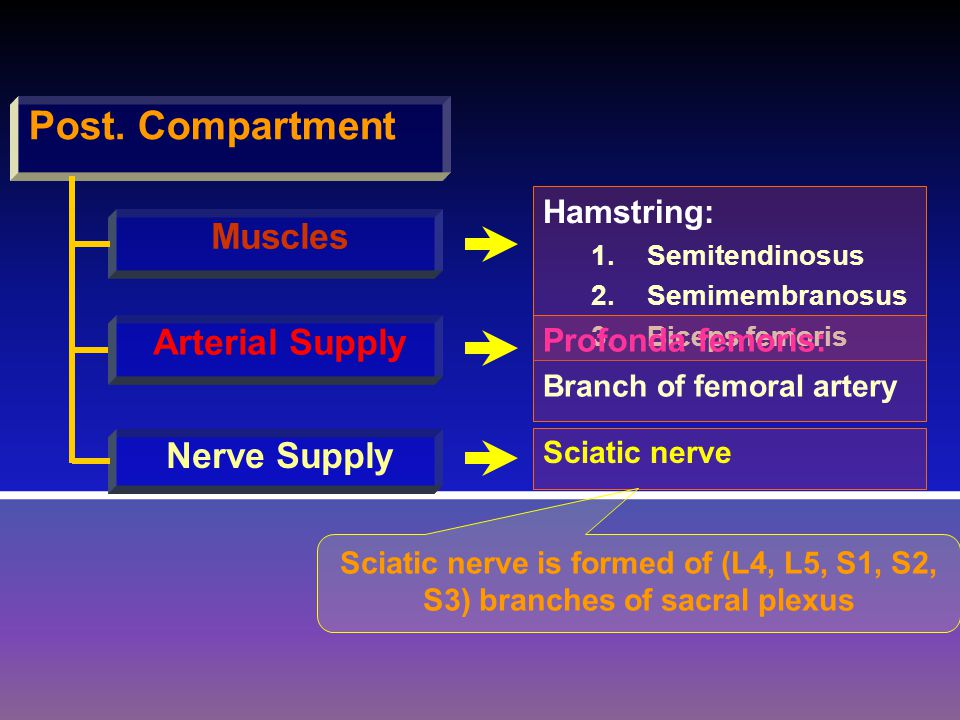 Post. Compartment Muscles Arterial Supply Nerve Supply Hamstring: