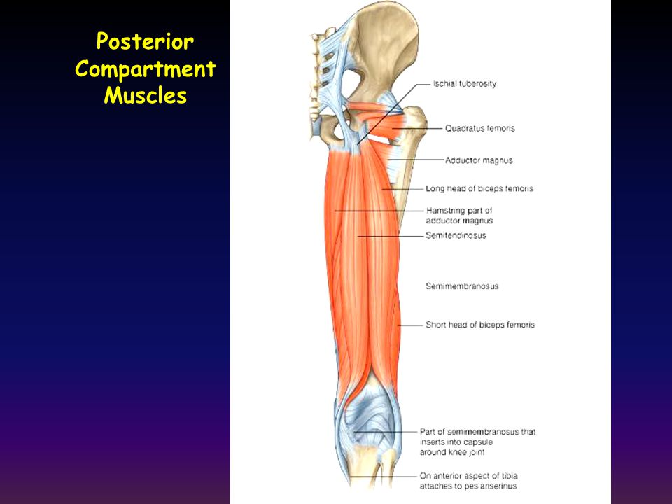 Posterior Compartment Muscles