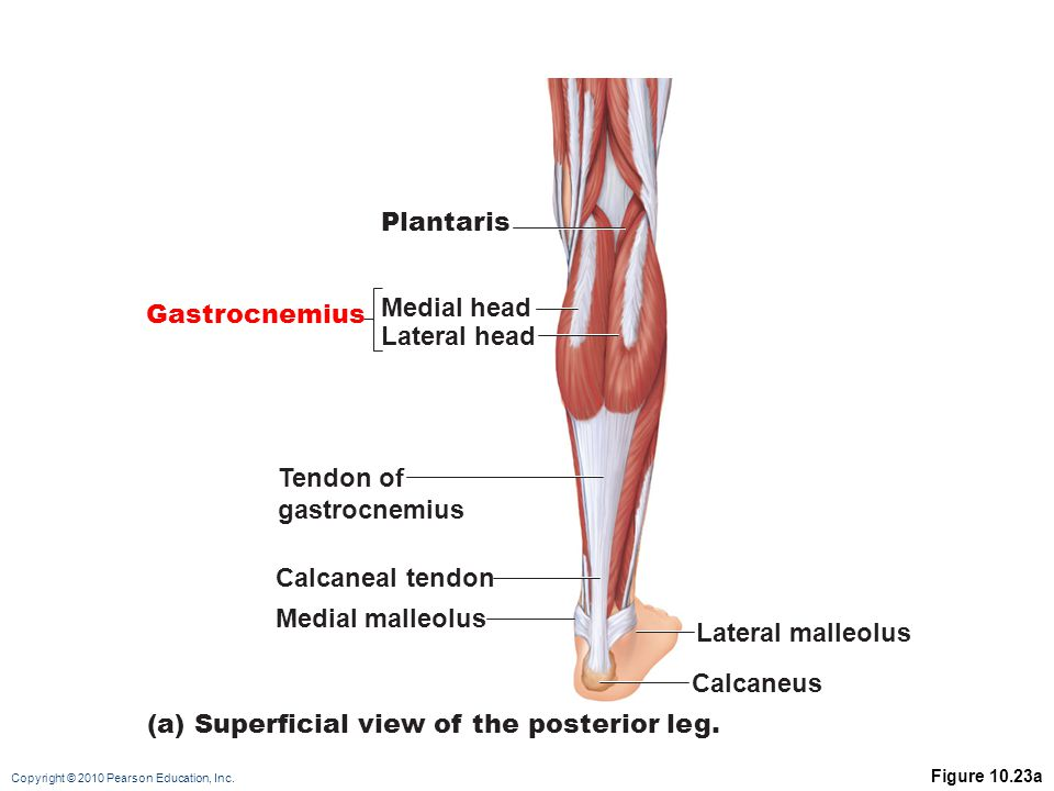 (a) Superficial view of the posterior leg.