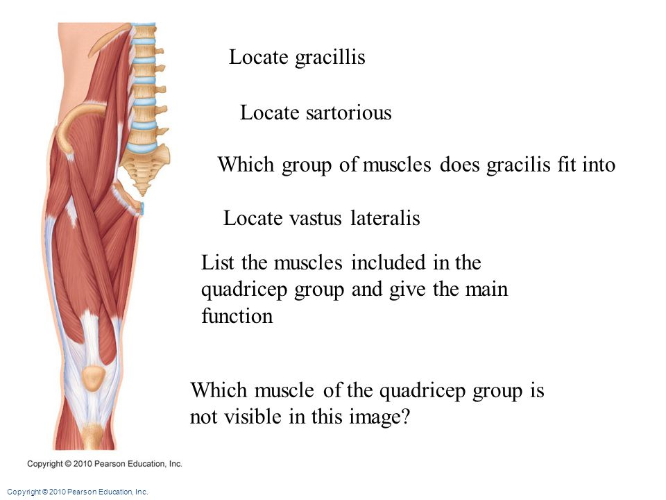Locate gracillis Locate sartorious. Which group of muscles does gracilis fit into. Locate vastus lateralis.