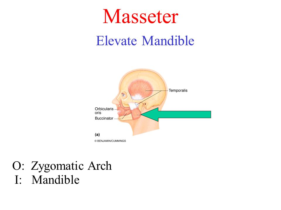 Masseter Elevate Mandible O: Zygomatic Arch I: Mandible