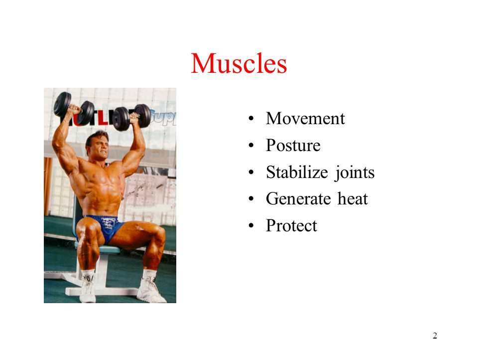 Muscles Movement Posture Stabilize joints Generate heat Protect