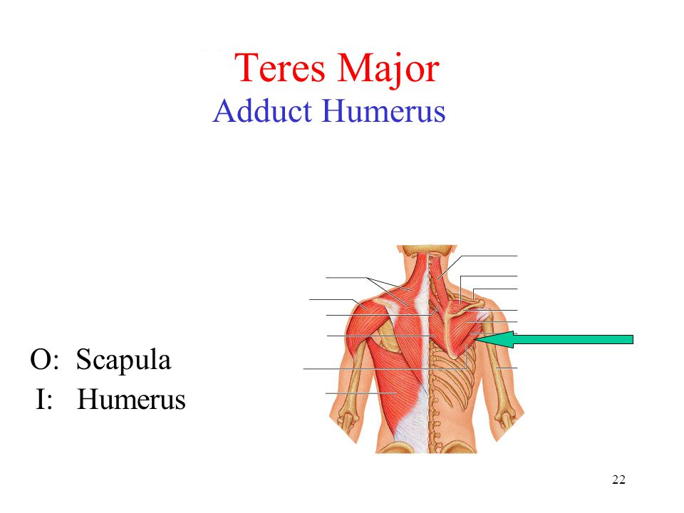 Teres Major Adduct Humerus O: Scapula I: Humerus
