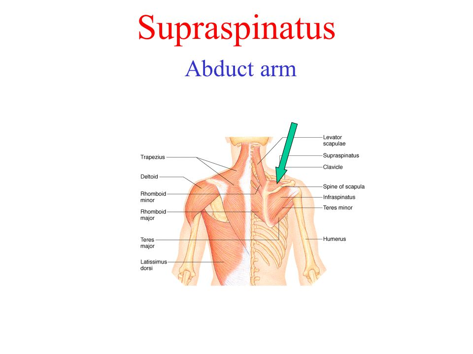 Supraspinatus Abduct arm