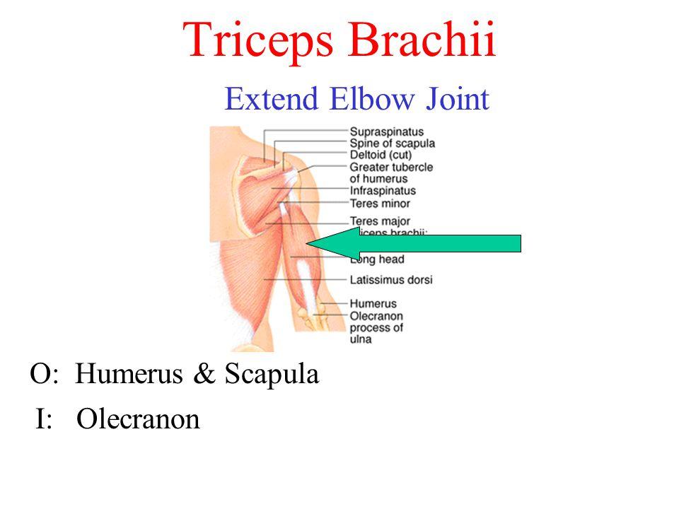 Triceps Brachii Extend Elbow Joint O: Humerus & Scapula I: Olecranon