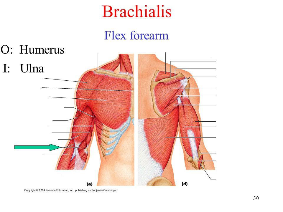 Brachialis Flex forearm O: Humerus I: Ulna