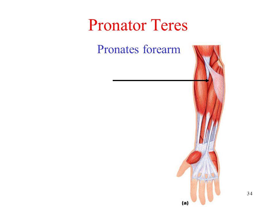 Pronator Teres Pronates forearm