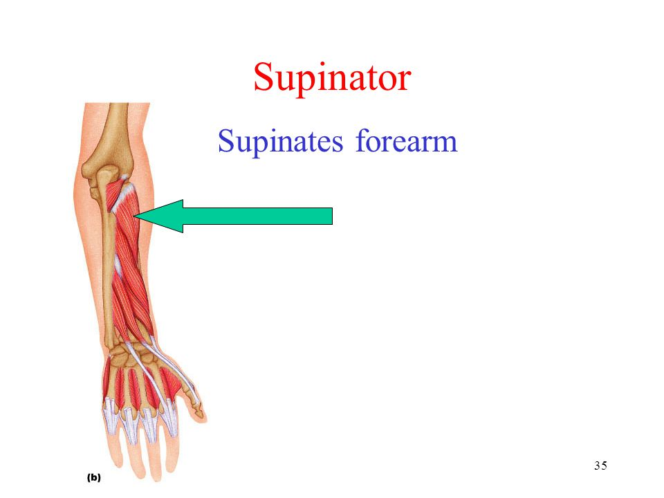 Supinator Supinates forearm