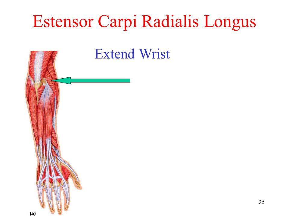 Estensor Carpi Radialis Longus