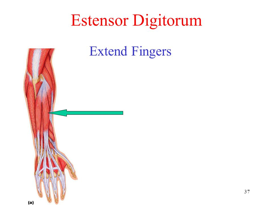 Estensor Digitorum Extend Fingers
