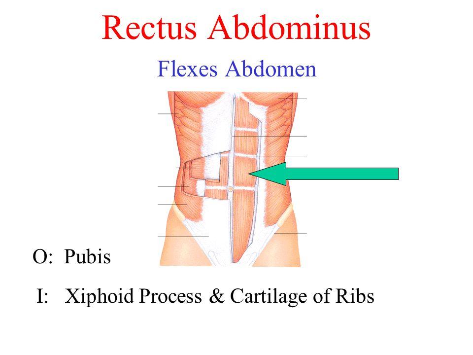 Rectus Abdominus Flexes Abdomen O: Pubis