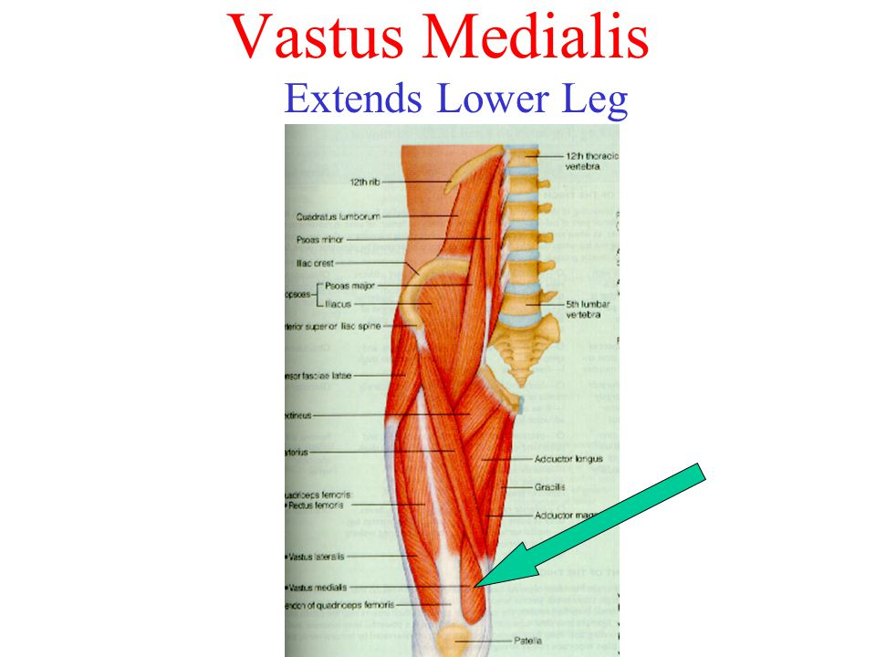 Vastus Medialis Extends Lower Leg