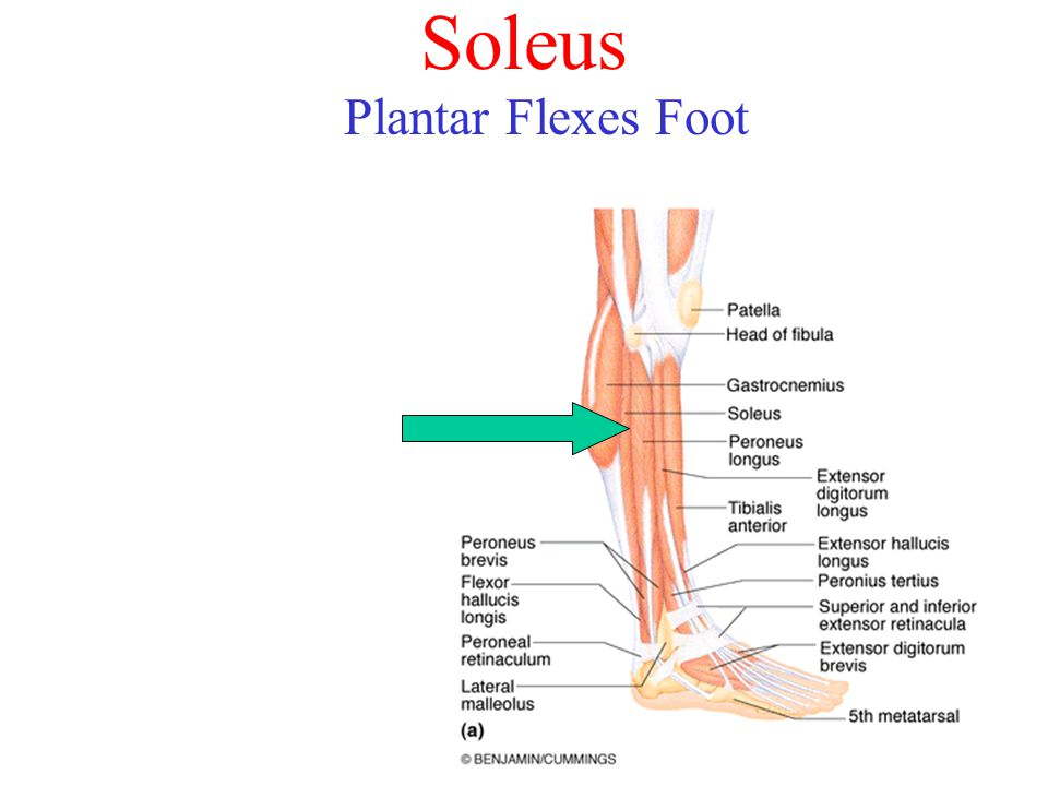 Soleus Plantar Flexes Foot
