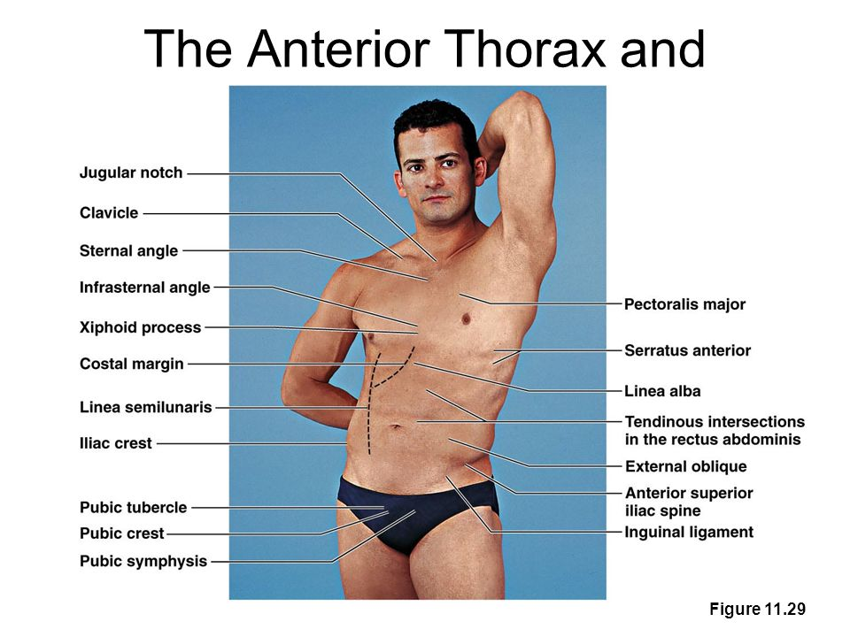 The Anterior Thorax and Abdomen