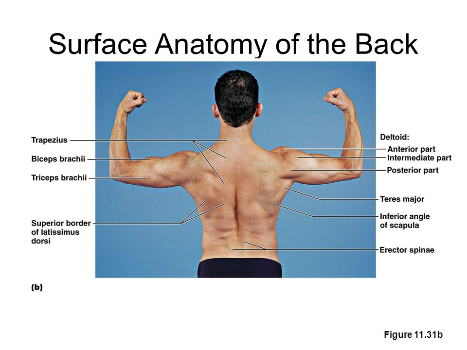 Surface anatomy of the shoulder