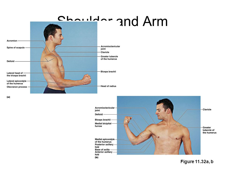 Shoulder and Arm Figure 11.32a, b